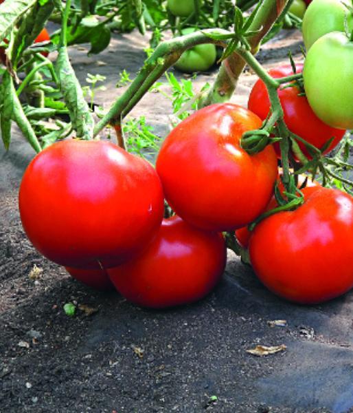 """Выращивать томаты """"Большая мамочка"""" можно в теплице и на улице"""
