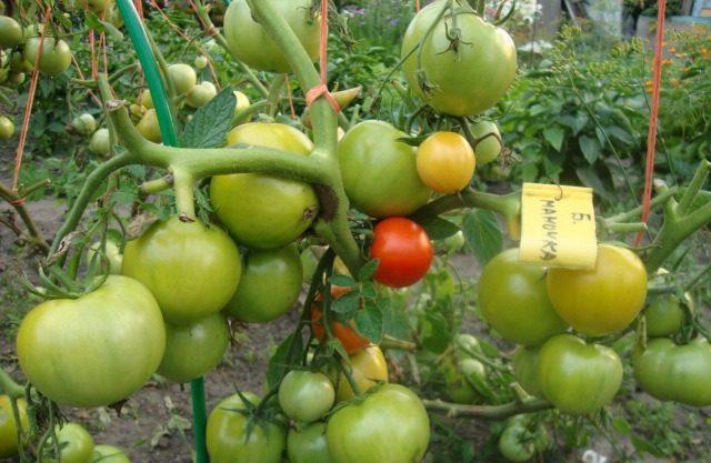 Закаливание помидоров повышает урожайность