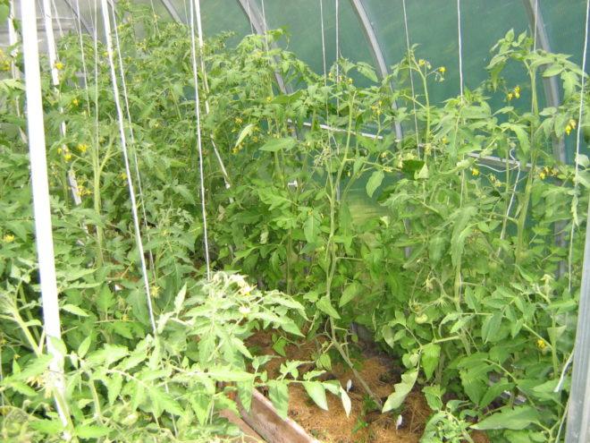 """Проветривание теплицы с томатами """"Чудо света"""" обязательно"""