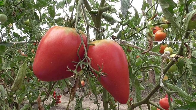Сорт Чудо земли отличается высокой урожайностью и отличным вкусом