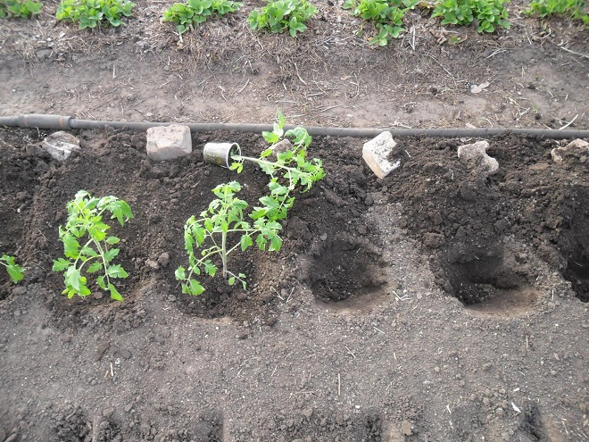 Нужно тщательно подбирать место для высадки помидоров