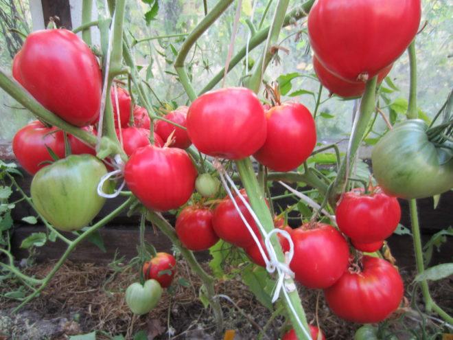 """Приятный на вкус томат """"Данко"""" плодоносит долго"""