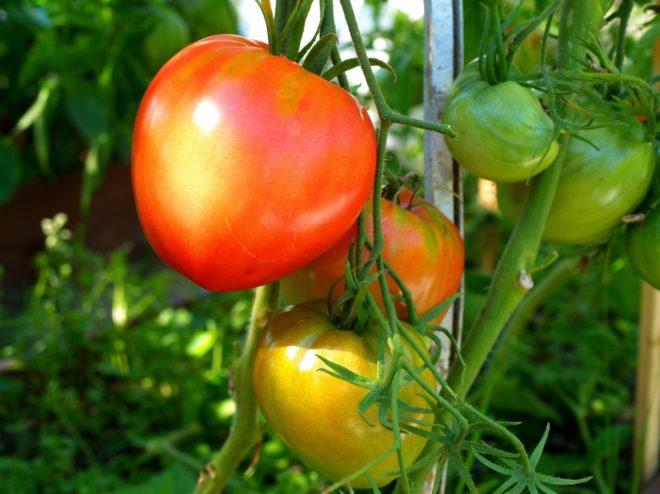 """Пасынкование томатов """"Данко"""" необходимо"""
