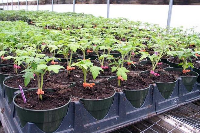 Рассада томатов Дубрава требует ухода