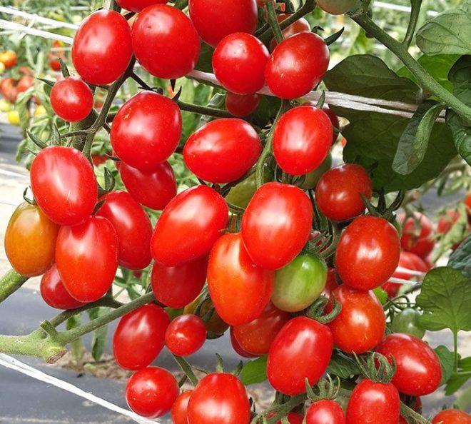 """Кусты томата """"Финик"""" небольшие и урожайные"""