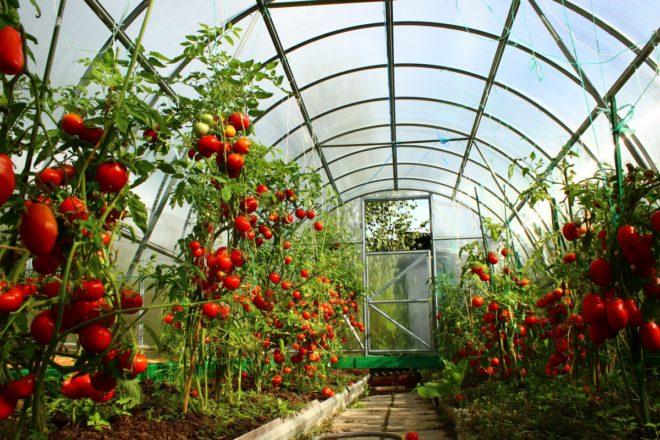 """Способов выращивания томатов """"Финик красный"""" несколько"""