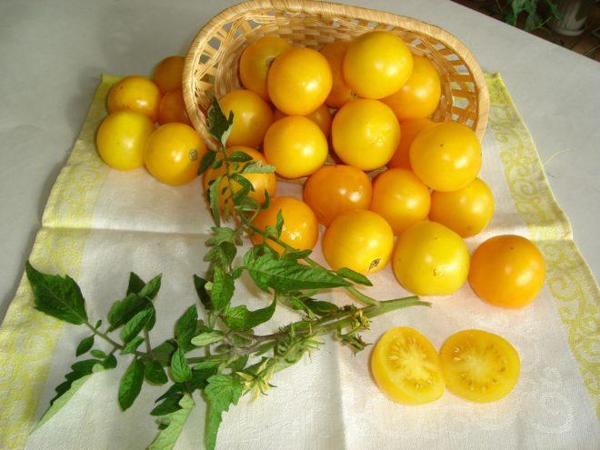 """Томаты """"Финик желтый"""" можно выращивать в горшках"""