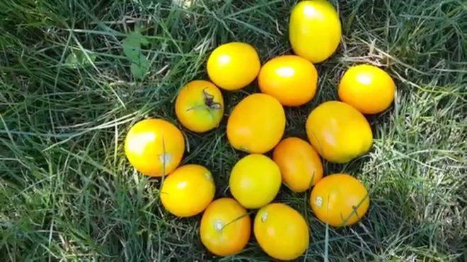 """Томаты """"Финик желтый"""" выращиваются рассадным методом"""