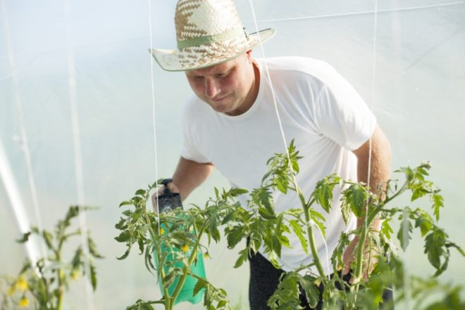 Опрыскивание томатов помогает избежать болезней