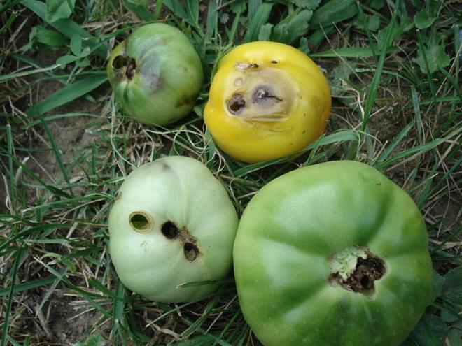 Поврежденные вредителями плоды томатов