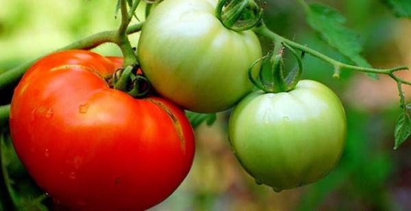 Плоды томатов достигают килограммового веса