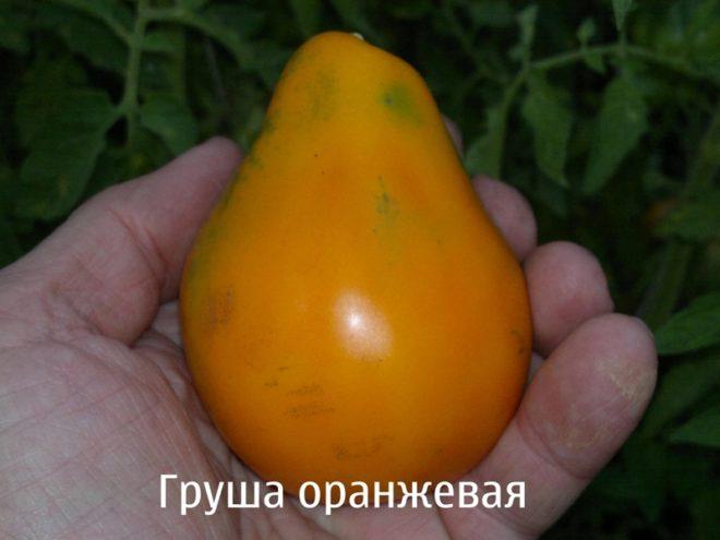 """Выращивать томаты """"Груша оранжевая"""" несложно"""