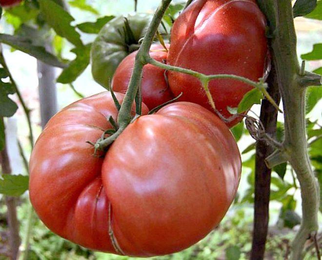 """Томаты """"Хлебосольные"""" урожайны и вкусны"""