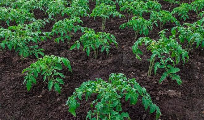 Рассаду необходимо садить за 2 месяца до высадки в грунт