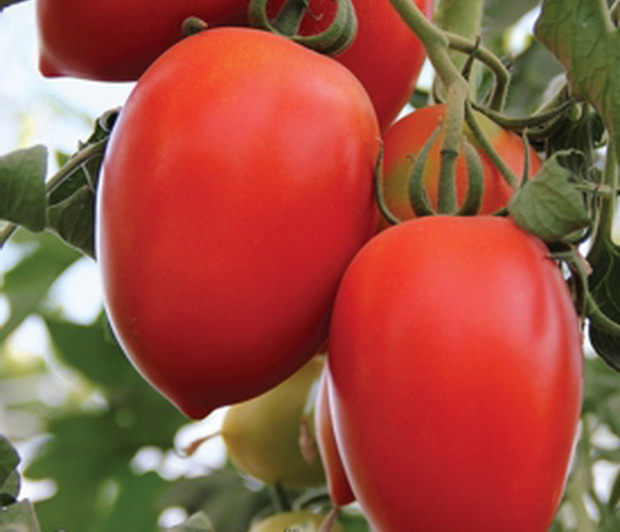 """Томаты """"Кенигсберг"""" можно выращивать в открытом и защищенном грунте"""