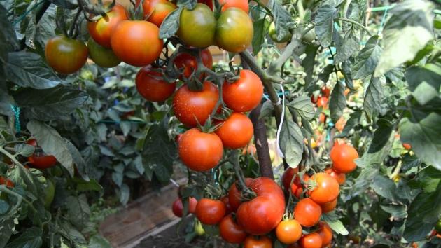 Томаты этого сорта отличаются высокой урожайностью