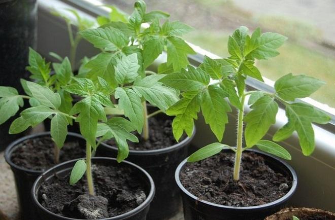 Выращивание рассады требует правильной температуры воздуха