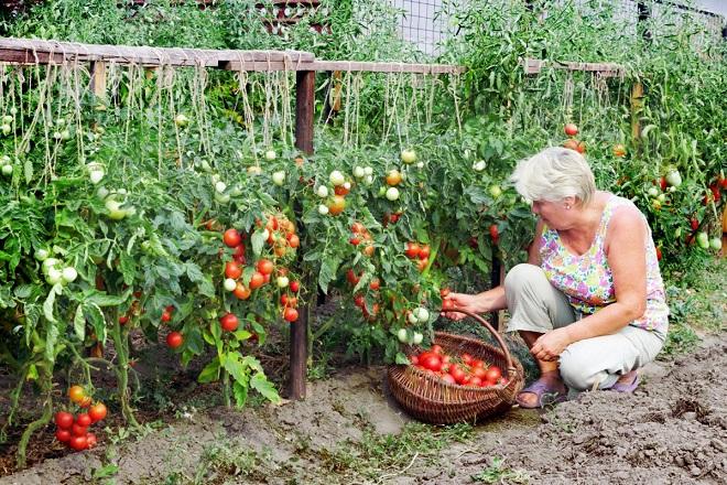 Прореживание кустов томатов повышает урожайность.