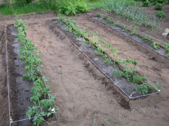 Рекомендуется высадка томатов в два корня