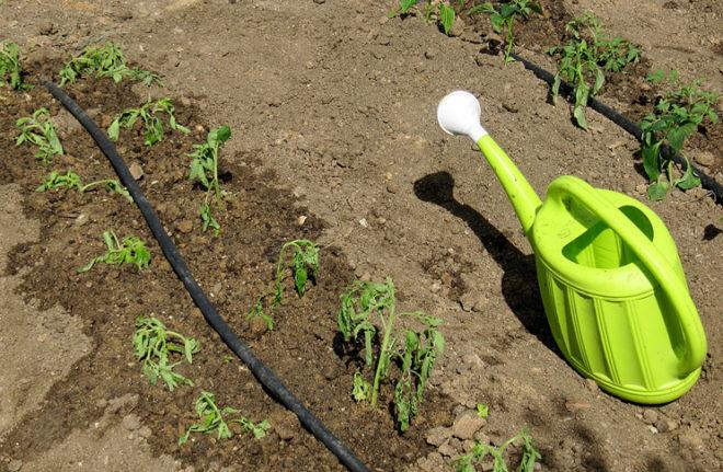 Поливать томаты необходимо под корень