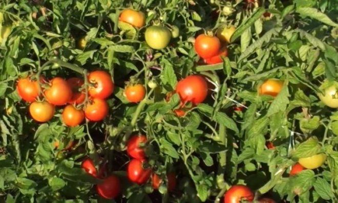 """Низкорослые и урожайные томаты """"Ляна"""" любимы огородниками"""