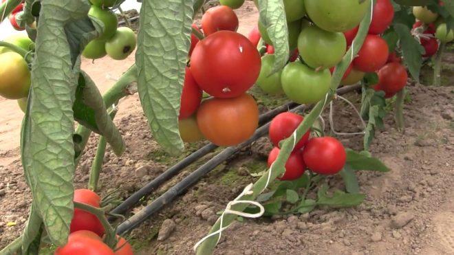 """Расстояние между кустами томатов """"Махитос"""" должно быть большим"""