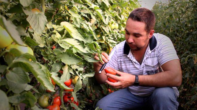 Соблюдать условия культивации томатов необходимо