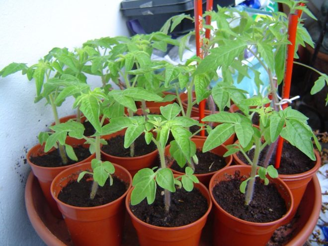 Выращивать рассаду необходимо заранее