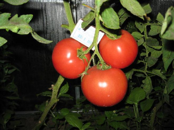 """Максимальный вес томата """"Малиновое чудо"""" достигает 750 грамм"""