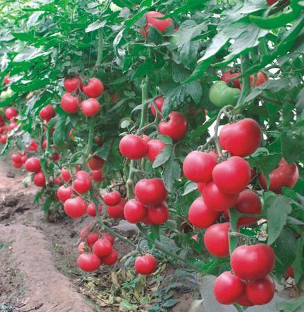 Урожайность сорта Малиновый звон высока