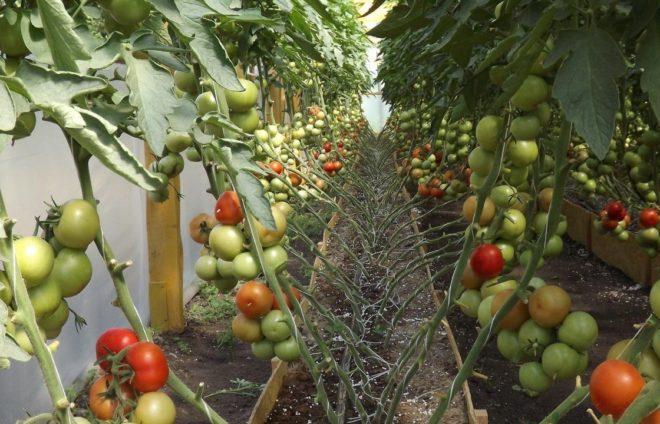 Рассада для томатов обязательна