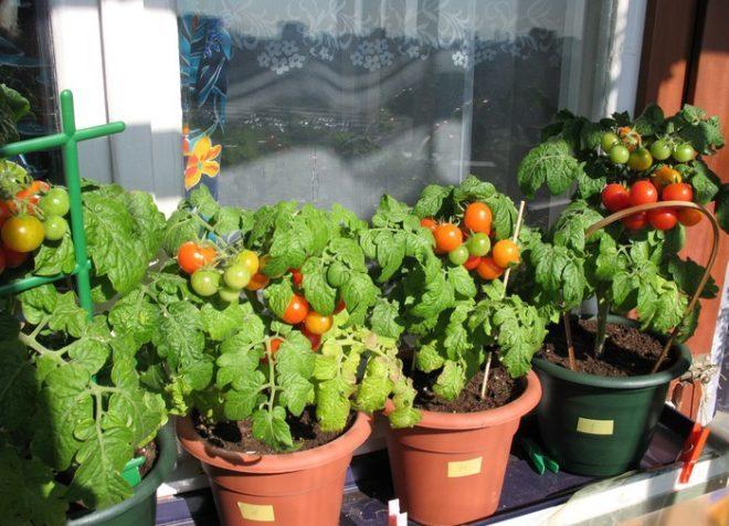 """Выращивать томаты """"Пиноккио"""" можно в горшках и в открытом грунте"""