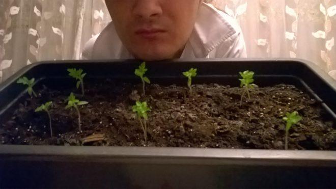"""Для томатов """"Пиноккио"""" важен состав почвы"""
