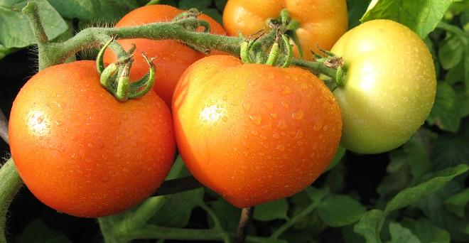 Томаты Примадонна отличаются урожайностью