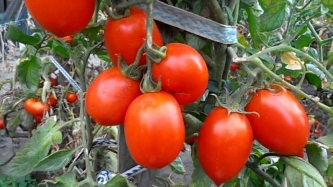 """Томаты """"Рио-Гранде"""" универсальны с точки зрения способов выращивания"""
