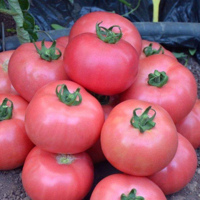 """Розовые томаты """"Розмарин"""" сладкие на вкус"""