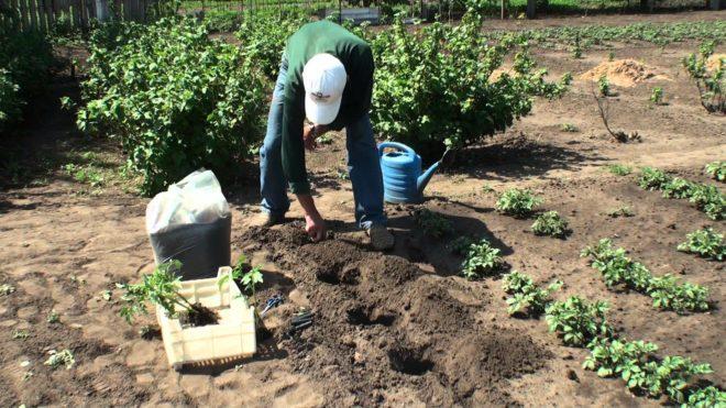 Пасынкование и полив томатов обязательны