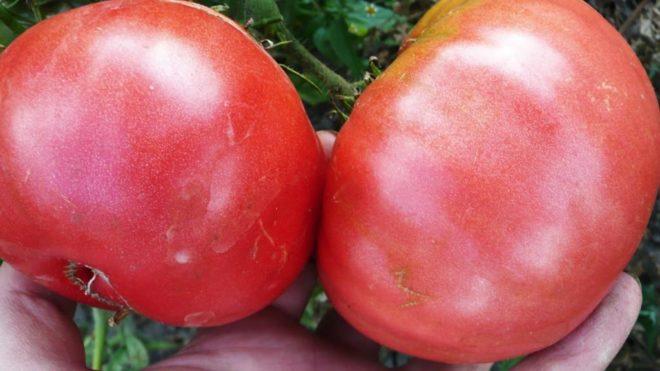 """Томаты """"Розовый гигант"""" популярны у огородников"""