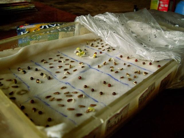 Обработка семян марганцем и проращивание обязательны