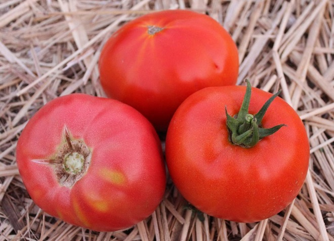 Низкорослый и неприхотливый сорт томатов идеально подходит для выращивания в России