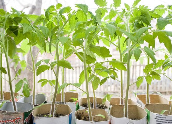Без рассады выращивать помидоры сорта Розовый титан нельзя