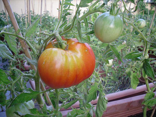 """Томаты """"Шапка Мономаха"""" можно выращивать в открытом грунте и теплице"""