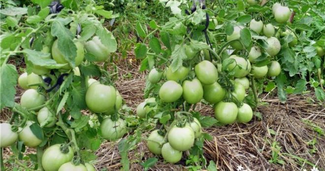 """Кусты томатов """"Столыпин"""" небольшие"""