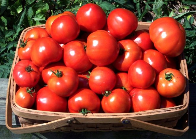 """Урожайность томатов """"Столыпин"""" высока"""