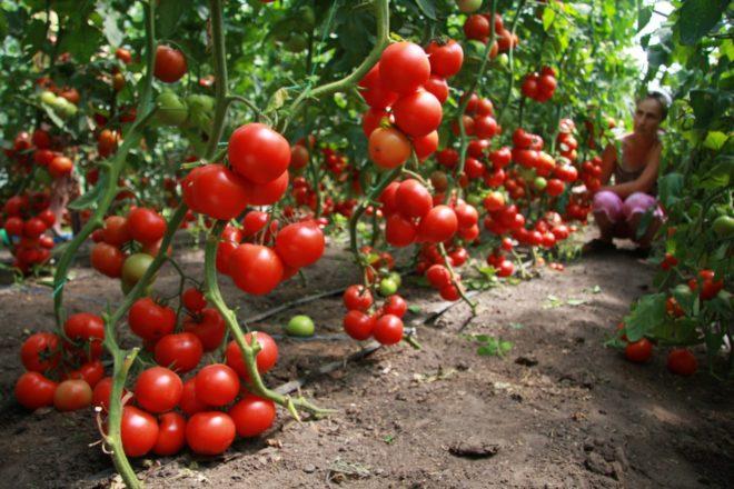 Желто-бурые томаты уже можно собирать