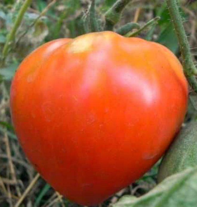 """Большие и вкусные томаты """"Царь-колокол"""" неприхотливы в уходе"""