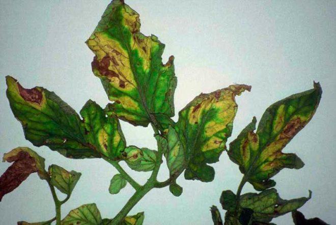 Фитоспорин и препараты на основе меди устраняют грибок