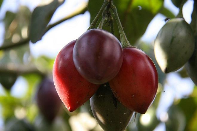 Плоды цифомандры свекольной имеют вытянутую приплюснутую форму