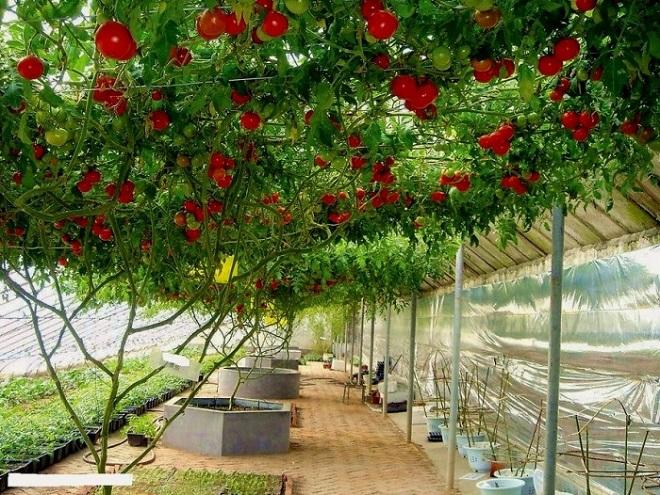 Цифомандру древовидную легко спутать с фруктовым деревом