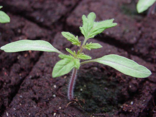 Рассаду томатов необходимо высевать заранее